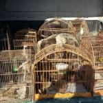 Recolhidos: Ao todo, 17 pássaros foram apreendidos. Eles serão encaminhados para instituto ambiental, em Lorena (SP) (Foto: Cedida pelo CPAM)