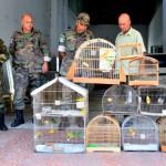 Mantidos em cativeiro: Pássaros estavam em um imóvel na Rua Eduardo Junqueira, no Centro; algumas deles tinham sinais de maus tratos(Foto: Divulgação PMBM)