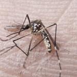 Mosquito Aedes aegypti, responsável pela transmissão dos vírus da dengue, febre chikungunya e Zika (Arquivo Agência Brasildengue no país) de janeiro até 14 de novembro (Fotos Públicas)
