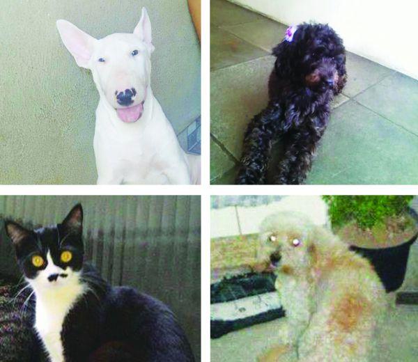Procura-se: (A partir da esquerda) Apollo, Docinho, Tini e Nick estão desaparecidos e foram vistos pela última vez em Volta Redonda (Fotos: Enviada por internautas/Arquivos pessoais)