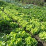 Mesa mais saudável: Produtos orgânicos são certificados por órgãos público ou privados e livres de agrotóxicos (Foto: Divulgação/PMVR)