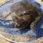 Tartarugas  foram encontrados em uma piscina oceânica de um condomínio de luxo em Mangaratiba (foto: Inea)