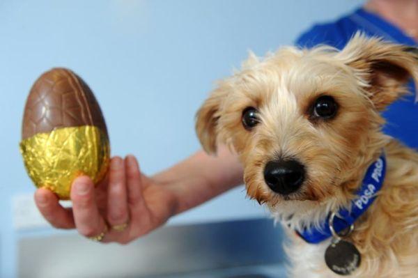 Perigo: Cachorro não pode comer chocolate em nenhuma circunstância e em nenhuma quantidade (Fotos: Divulgação)