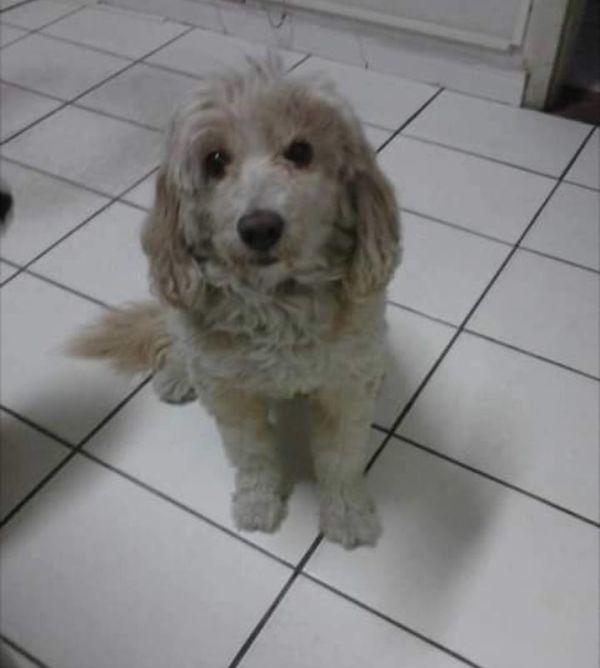 Flokinho é mestiço de poodle, sofre com problemas de visão e tem 14 anos. Ele desapareceu no bairro Estamparia (Foto: Arquivo pessoal)