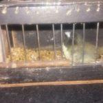 O pássaro apreendido é conhecido como papa-capim-capuchinho ou baiano (foto: Cedida pela PRF)