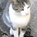 gato sheik