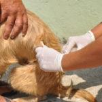 Meta: Vacina é destinada a cães e gatos a partir dos três meses de idade (Foto: Paulo Dimas)