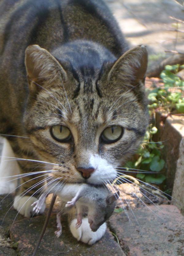 Hoje em dia: Existem mais de 600 milhões de gatos a viver entre nós (Fotos: Divulgação)