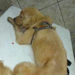 Ferido: Golden retrivier foi golpeado com uma machadinha (Foto: Divulgação)