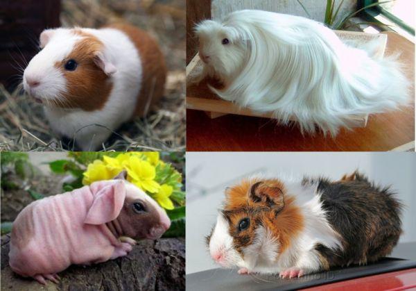 Cor: Porquinhos-da-índia são encontrados em diferentes raças e se diferenciam pela pelagem (Foto: Divulgação)