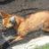 Lobo-guará é salvo após atropelamento na Dutra