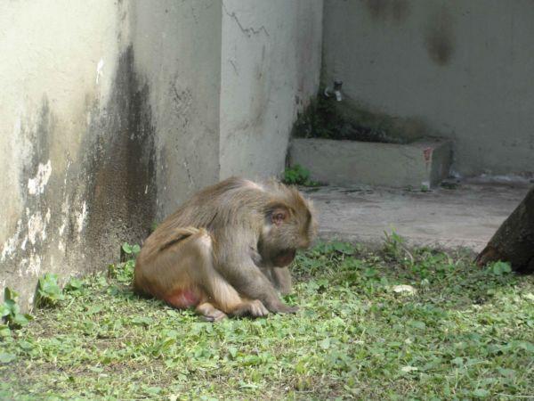 Macacos no zoo: Rotina de inspeção e monitoramento continua normal (Foto: Arquivo)