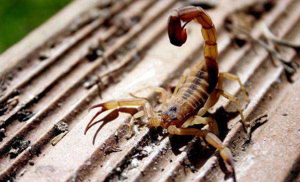 Cuidados: Escorpião é um dos animais que fazem mais vítimas em Volta Redonda (Foto: Divulgação)