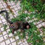 Febre amarela mata quatro macacos em VR (crédito-divulgação)