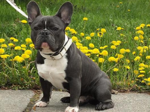 10º - Bulldog