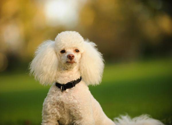 2º - Poodle
