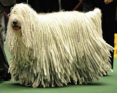 Diferente: Komondor, Cão de Crista Chinês e Afghan Hound estão entre os cães mais exóticos (Fotos: Divulgação)