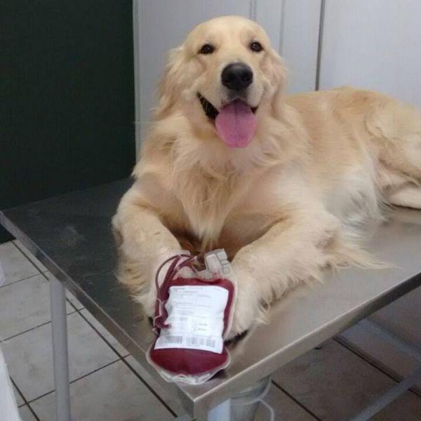 Boa ação: Responsável pelo animal que quiser que seu cão ou gato seja um doador, deve procurar uma clínica veterinária e se cadastrar (Foto: Divulgação)