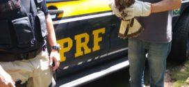 PRF resgata gavião ferido na Via Dutra em Resende
