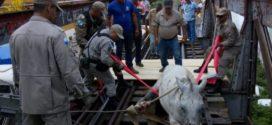 Cavalo é resgatado ao cair em ponte ferroviária