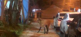 Lobo-guará é flagrado em praça do Jardim Amália I