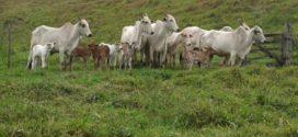 Vacinação do gado contra a febre aftosa segue até dia 30 de maio