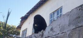 Macaco bugio-preto é flagrado no bairro Parque Ypê em Paraty