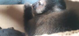 PRF encontra cinco macacos-prego dentro de porta-malas de carro na Dutra