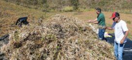 Barra Mansa colhe feijão plantado  em unidade demonstrativa de Floriano